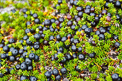 Crowberry Syrup Photo